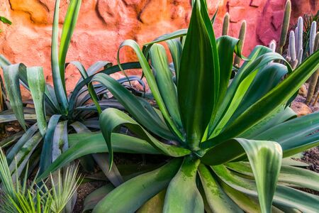 closeup of a big agave plant, popular tropical plant specie from America Stockfoto