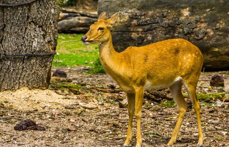 closeup portrait of a female elds deer, Endangered animal specie from Asia Stockfoto