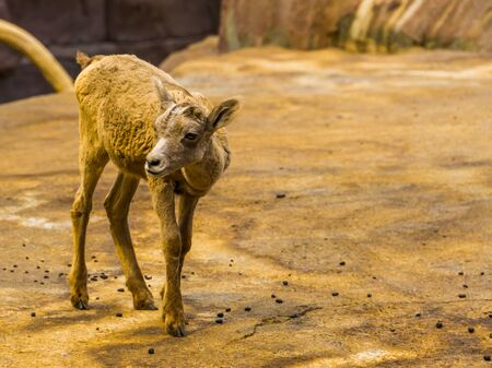 portrait of an adorable bighorn sheep lamb, Tropical animal specie from North America