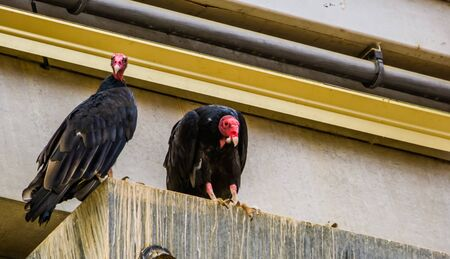 turkey vultures together, Tropical scavenger bird specie from america