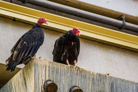 Turkey vulture couple together, tropical scavenger bird specie from America