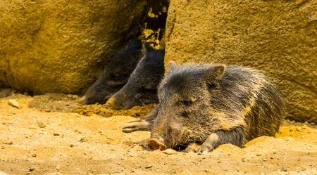 Collared peccary sleeping with 2 other peccaries in the background, Tropical animal specie from America