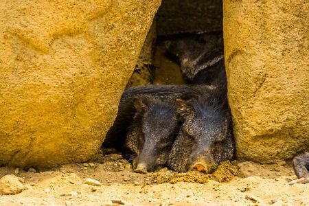Collared peccary couple sleeping together, Tropical animal specie from America