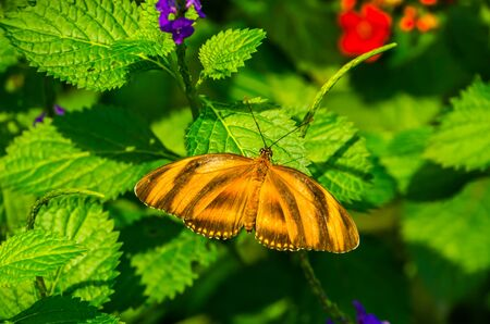 banded orange tiger heliconian, dorsal view, Tropical colorful butterfly specie from America