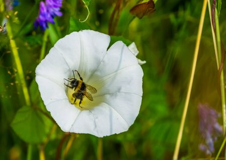 Closeup of a bee pollinating a heavenly trumpet flower, insect behavior, nature background Stockfoto