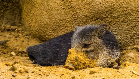 closeup of a collared peccary laying on the ground with a dirty snout, tropical animal specie from America Stockfoto