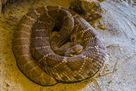 coiled up red diamond rattlesnake in closeup, venomous pit viper specie from America Stockfoto