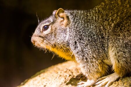 rock squirrel with its face in closeup, tropical rodent specie from America Stockfoto