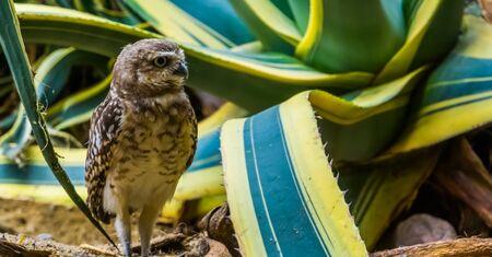 beautiful closeup portrait of a burrowing owl, long legged owl specie from America