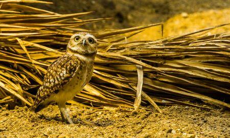 closeup portrait of a burrowing owl, long legged owl specie from America, diurnal bird of prey