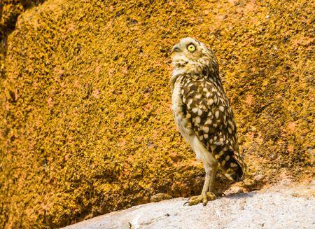 funny portrait of a burrowing owl, tropical bird specie from America, diurnal bird of prey