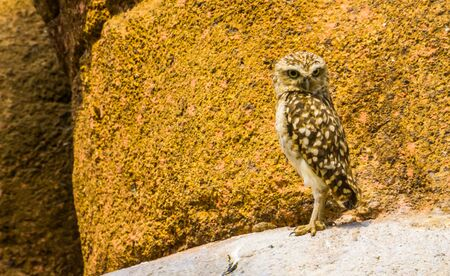portrait of a burrowing owl, diurnal bird specie from America, popular bird of prey that is active during the day