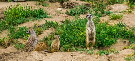 Cute meerkat standing in the field, tropical mongoose specie from Africa