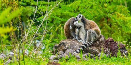 ring tailed lemur couple grooming each other, funny animal behavior, Tropical Endangered primate specie from Madagascar