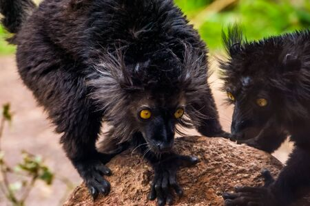 male black lemur with its face in closeup, tropical primate from madagascar, vulnerable animal specie