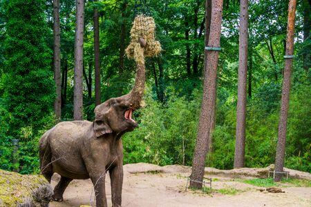 asian elephant grabbing hay, zoo animal feeding, Endangered animal specie from Asia