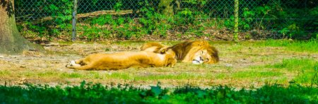 Male and female lion sleeping together, vulnerable animal specie from Africa Reklamní fotografie - 149754150