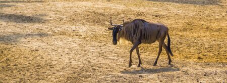 single eastern white bearded wildebeest walking through the sand, tropical antelope specie from Africa