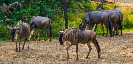 herd of eastern white bearded wildebeest, tropical antelope specie from Africa