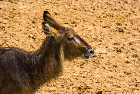 closeup of the face of a ellipsen waterbuck, tropical antelope specie from Africa Reklamní fotografie