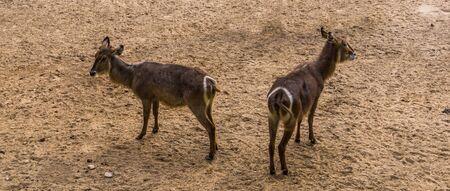 ellipsen waterbuck couple together, tropical antelope specie from Africa Reklamní fotografie