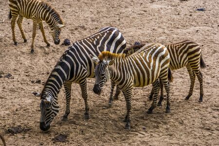 male and female grant's zebra couple together, tropical wild horse specie from Africa Reklamní fotografie - 149754228