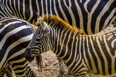 grant's zebra with its face in closeup, tropical wild horse specie from Africa