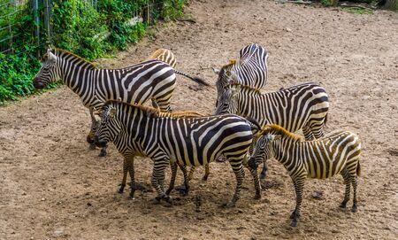 big group of grant's zebras together, tropical horse specie from Africa