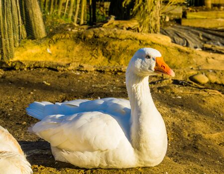 beautiful portrait of a white domestic goose, popular farm animal, aggressive poultry specie from the Netherlands