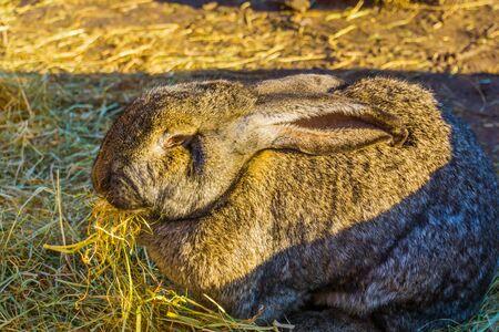 European rabbit eating hay in closeup, animal feeding, popular domesticated bunny specie