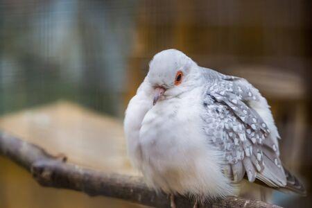 White diamond dove in closeup, color mutation, popular tropical bird specie from Australia