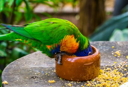 closeup of a rainbow lorikeet with its head in the feeding bowl, bird diet and care, Tropical animal specie from Australia