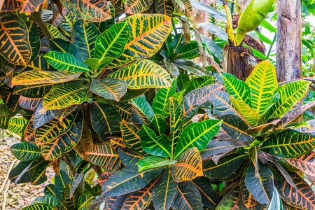 pattern of colorful leaves of a dumb cane plant, popular tropical cultivated specie from America