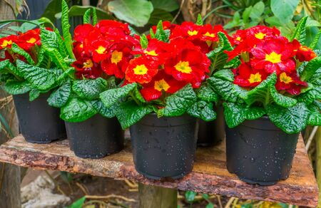 primrose plants in flower pots, colorful tropical plant specie from America