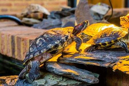 closeup of a red eared slider turtle climbing a shore, tropical reptile specie from America