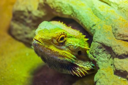 the face of a bearded dragon lizard that is hiding under a rock, tropical reptile specie, popular terrarium pet in herpetoculture