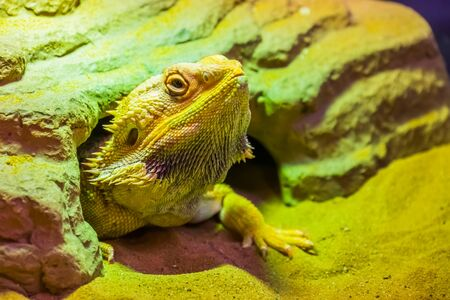 closeup portrait of a bearded dragon lizard coming out of its hideout, tropical reptile specie, popular terrarium pet in herpetoculture