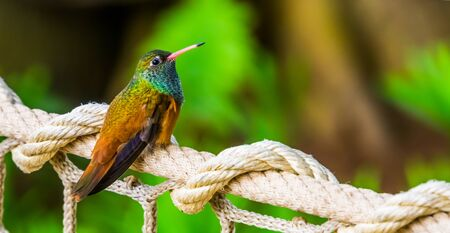 closeup portrait of an amazilia humming bird, popular and small tropical bird specie from America Banque d'images