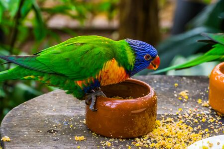 rainbow lorikeet sitting on a feeding bowl, bird feeding and pet care, Tropical animal specie from Australia Banque d'images