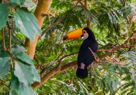 toco toucan sitting a tree, tropical bird specie from America