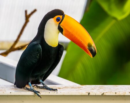 closeup of a toco toucan, popular tropical bird specie from America Banque d'images