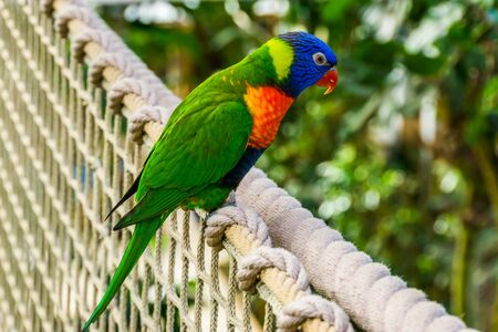closeup of a rainbow lorikeet sitting on a rope, colorful tropical parrot specie from Australia