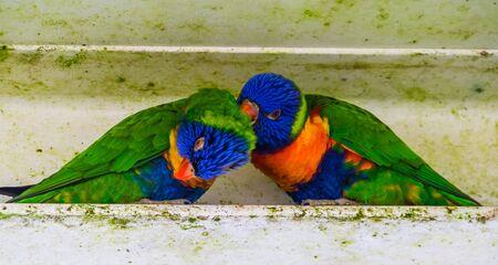 lovely rainbow parakeet couple preening each other, Typical bird behavior, Tropical animal specie from Australia