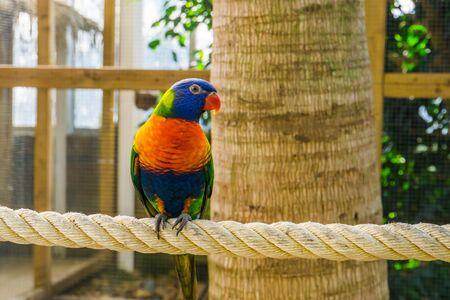 closeup portrait of a rainbow lorikeet, colorful tropical bird specie from australia Banque d'images