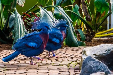 victoria crowned pigeon couple walking together, tropical and colorful birds from new guinea, Near threatened bird specie