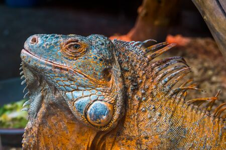 The face of an American green iguana in closeup, Detailed reptile head, tropical lizard specie from America, popular exotic pet Banque d'images
