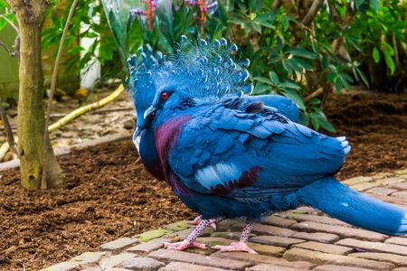 closeup portrait of a victoria crowned pigeon couple, tropical and colorful birds from new guinea, Near threatened bird specie
