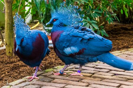 victoria crowned pigeon couple together, tropical and colorful birds from new guinea, Near threatened bird specie