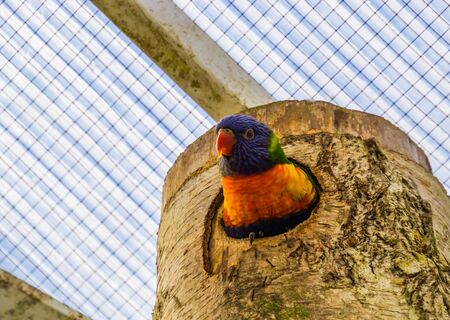 closeup of a rainbow lorikeet looking out of its birdhouse, colorful tropical bird specie from australia