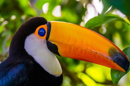 portrait of a toco toucan with its face in closeup, beautiful tropical bird specie from America